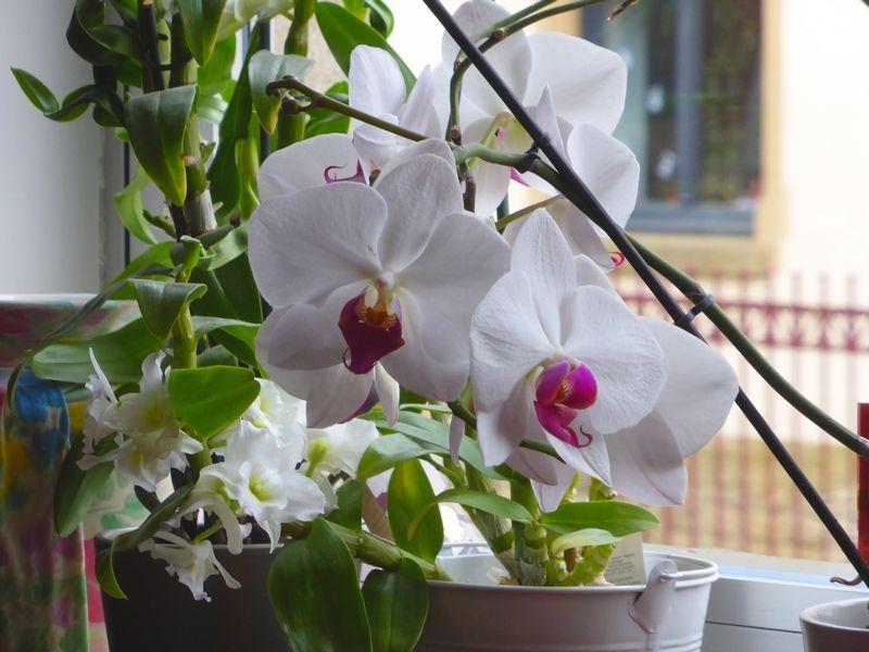 fiche conseil comment faire refleurir une orchid e art floral and horticulture. Black Bedroom Furniture Sets. Home Design Ideas