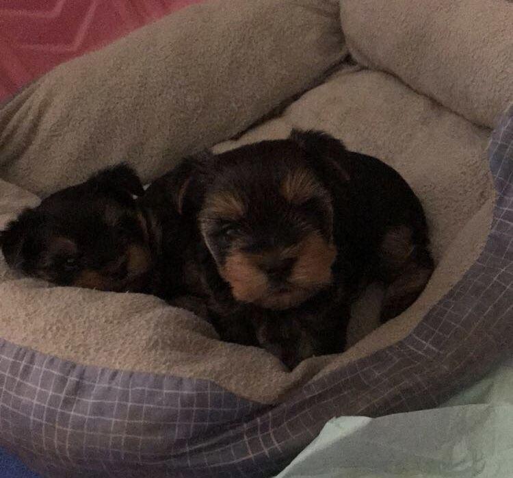 Shorkie Tzu Puppy For Sale In Montgomery Al Adn 70287 On