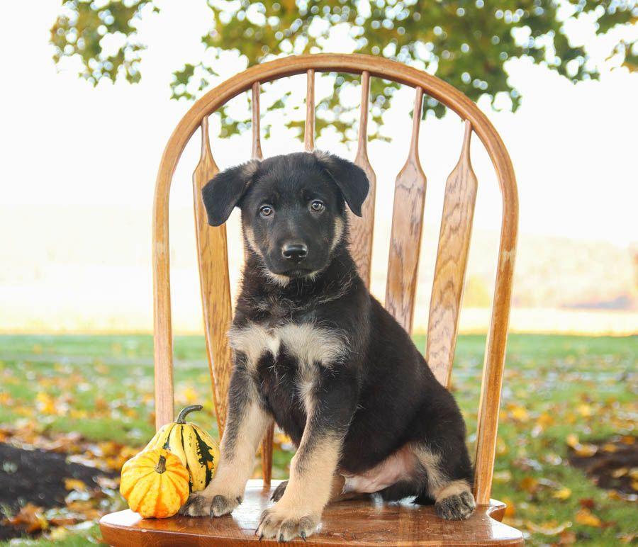 Puppies For Sale German Shepherd Puppies Dog Breeder Lancaster Puppies