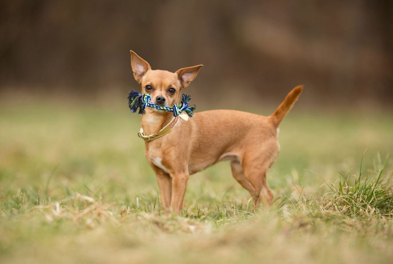 Dog Chew Toys For Small To Medium Dogs Includes Frisbee And Rope Toys Click Image For More Details This Is An Dog Breed Quiz Dog Breeds Dog Breeds Medium