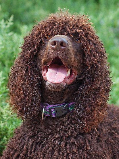 Irish Water Spaniel #dogs #puppy | Irish water spaniel ...