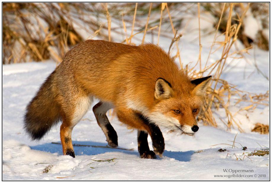 reineke-fuchs-vulpes-vulpes-0d734fb0-01dc-4cd9-ad44-7e14accc39d9.jpg (919×619)