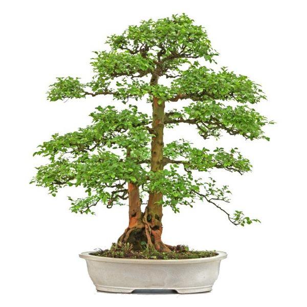 vente de bonsai sageretia theezans 90 cm exemplaire sankaly bonsa achat vente de bonsai en. Black Bedroom Furniture Sets. Home Design Ideas