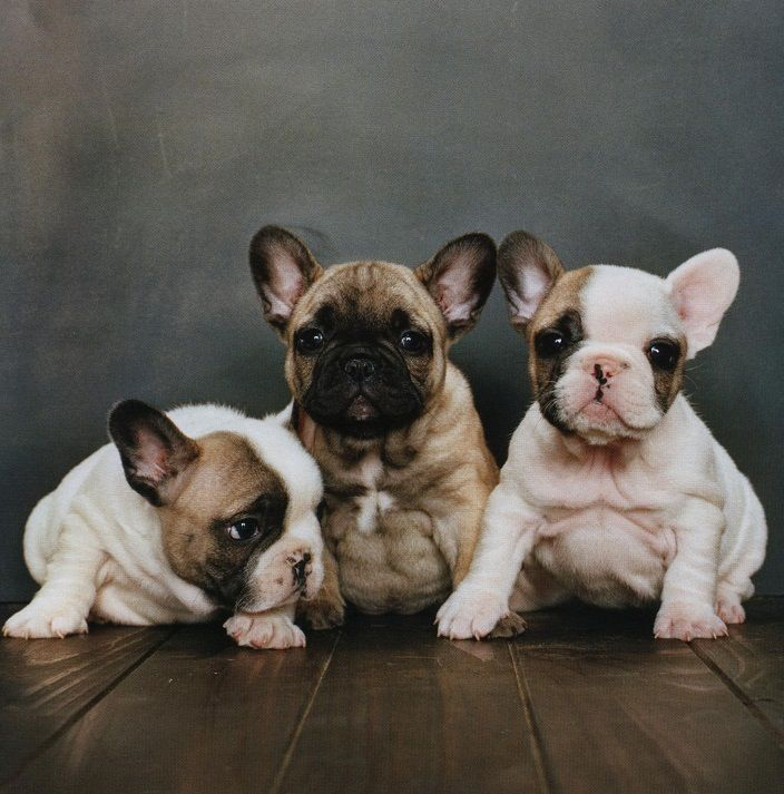 Frenchie Puppies Cute Lil Chunky Monkeys French Bulldog