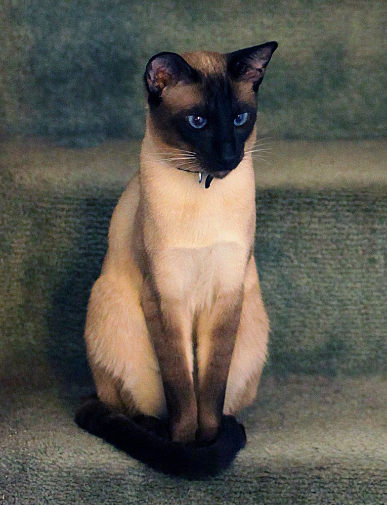 seal point siamese cats. where can I get one? | Animals that make ...