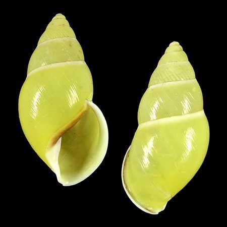 Amphidromus ristiae Dextral by Cebu-Man, via Flickr