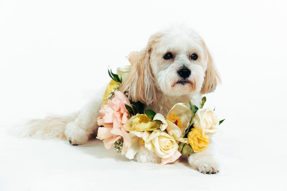 Dog wearing flower crown created by Florist Jo Mann for New Zealand Flower Week