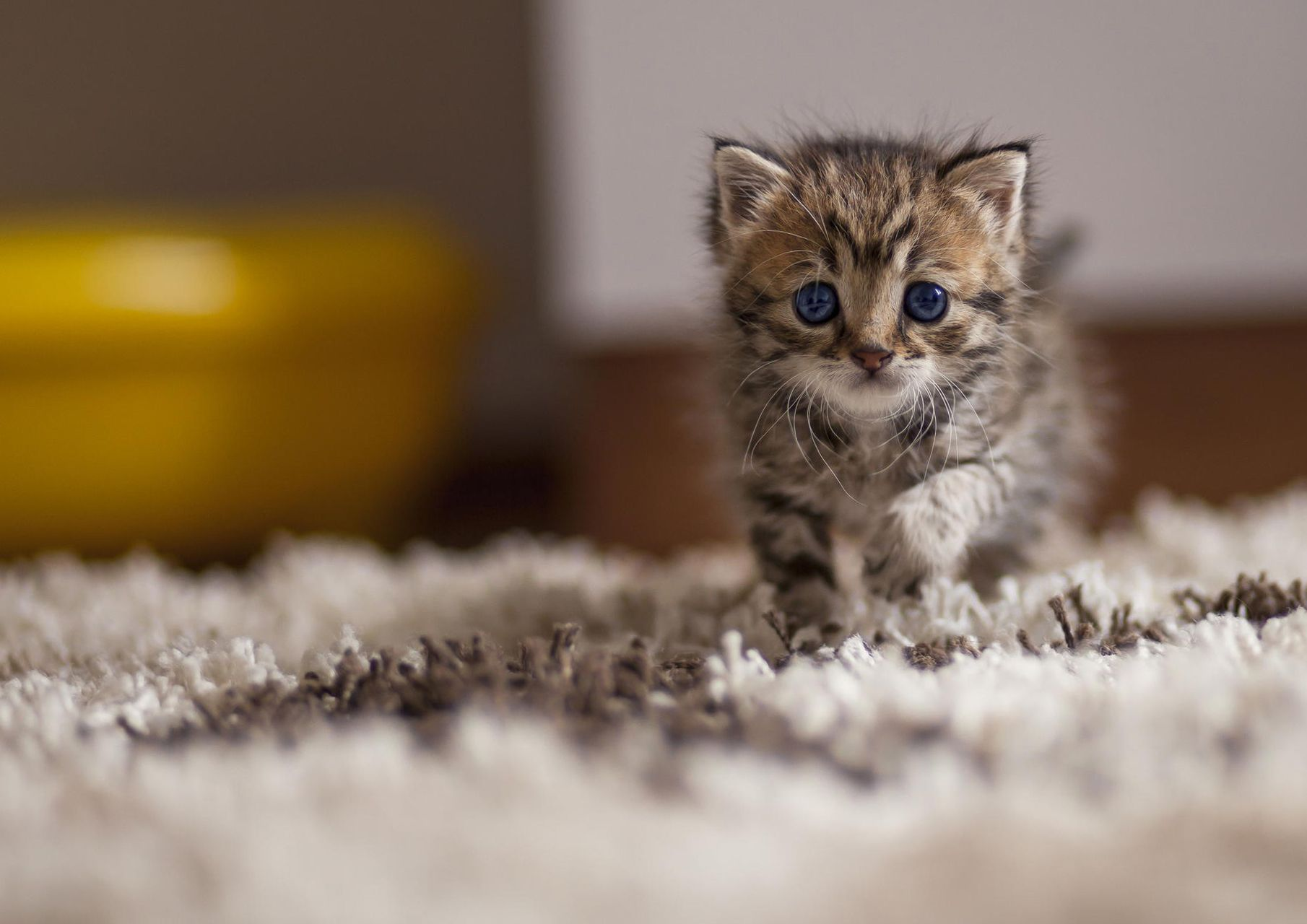 New Cats Wallpapers Download 80 Cute Cat Pics & HD Images