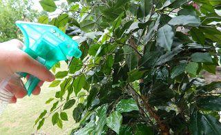 Sugar Spice and Spilled Milk: Mission Organization: Week 32 - Those Dusty (Achoo!) Ficus Trees
