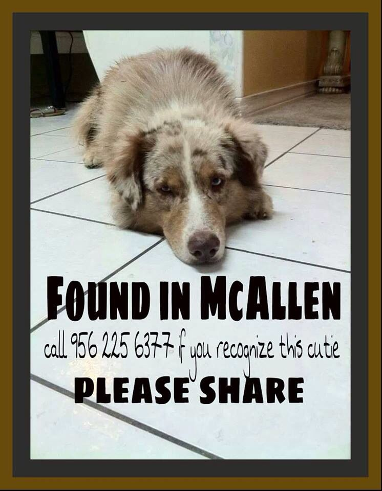 #FOUNDDOG 2-20-14 #MCALLEN #TX RED MERLE MALE #AUSTRALIANSHEPHERD LOOSE AGAIN GONZALEZ ELEMENTARY 956-225-6377 https://www.facebook.com/AustralianShepherdsLostAndFoundUsa/posts/822730314410685