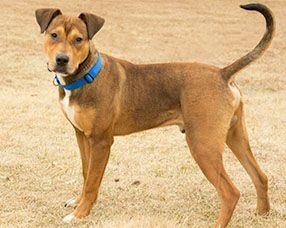 Petango.com – Meet Hansel, a 1 year Hound / Terrier, American Pit Bull available for adoption in Kansas City, MO