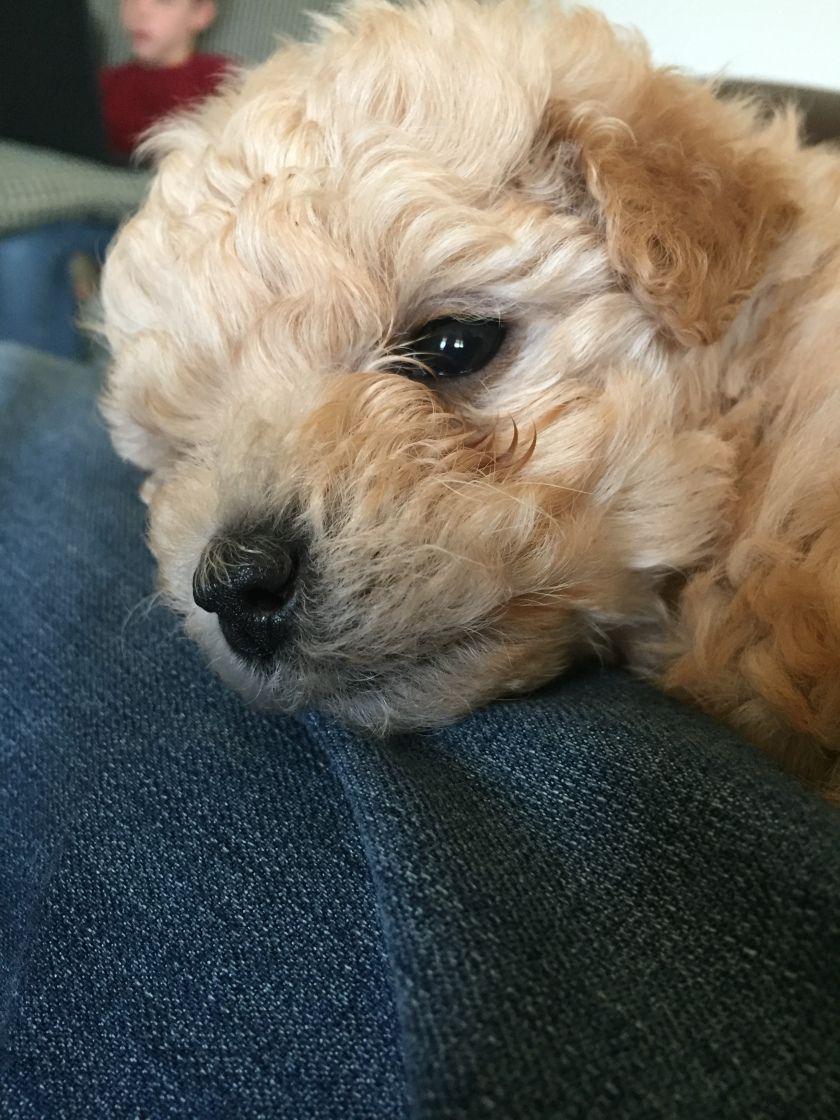 Maisy Maltipoo Puppy 11 2 Months Old Maltipoo Puppy Minature