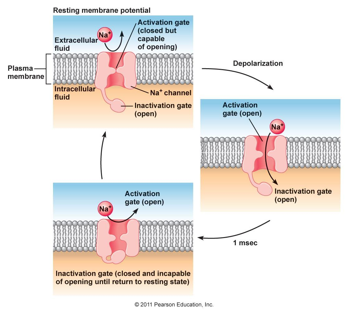 describe the conduction of action potentials and activation of neurotransmitters This function is accomplished by the generation, conduction, and integration of   membrane potentials include resting potentials, action potentials, and local  as  classic neurotransmission) are the postsynaptic potentials described above and   neurotransmitter release, signal transduction, enzyme activation, intracellular .