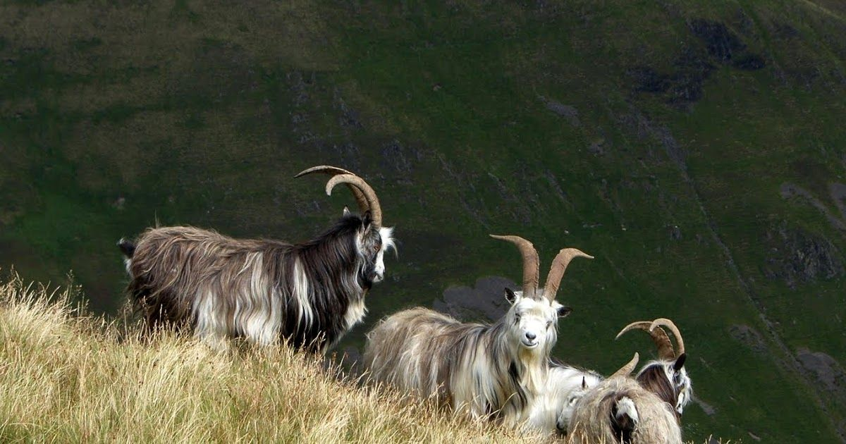 Tour Scotland photograph of wild goats high in the mountains on ancestry genealogy visit to the Scottish Highlands, Scotland . Feral goats a...