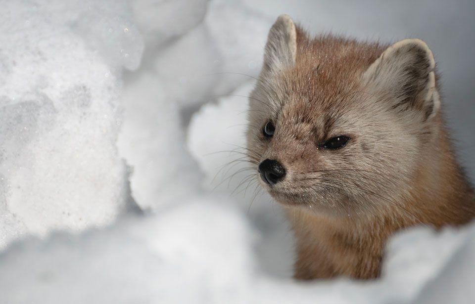 Mammals Canadian Animals Animals Canadian Wildlife