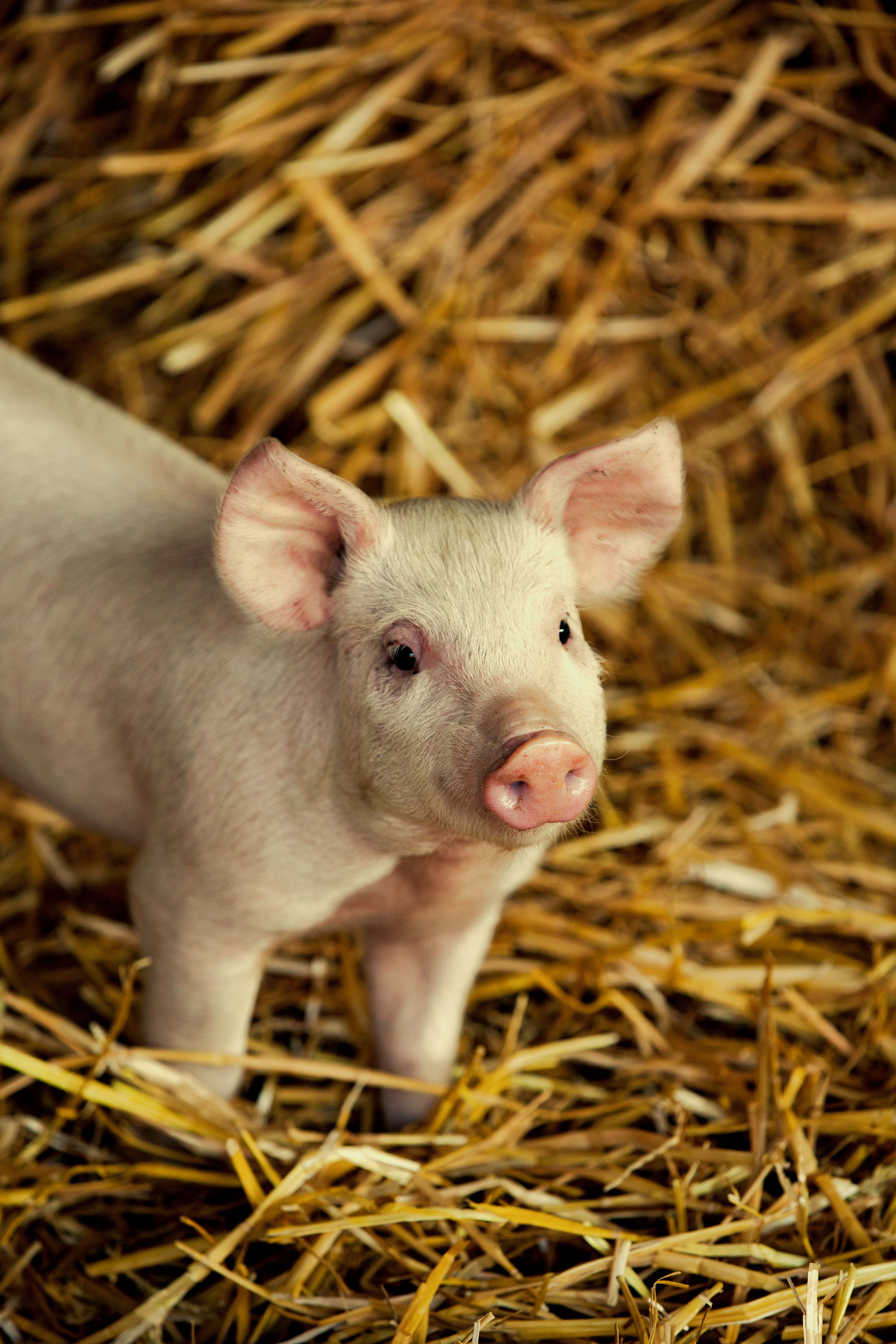 It's not just sausages and bacon. Pigs also make their