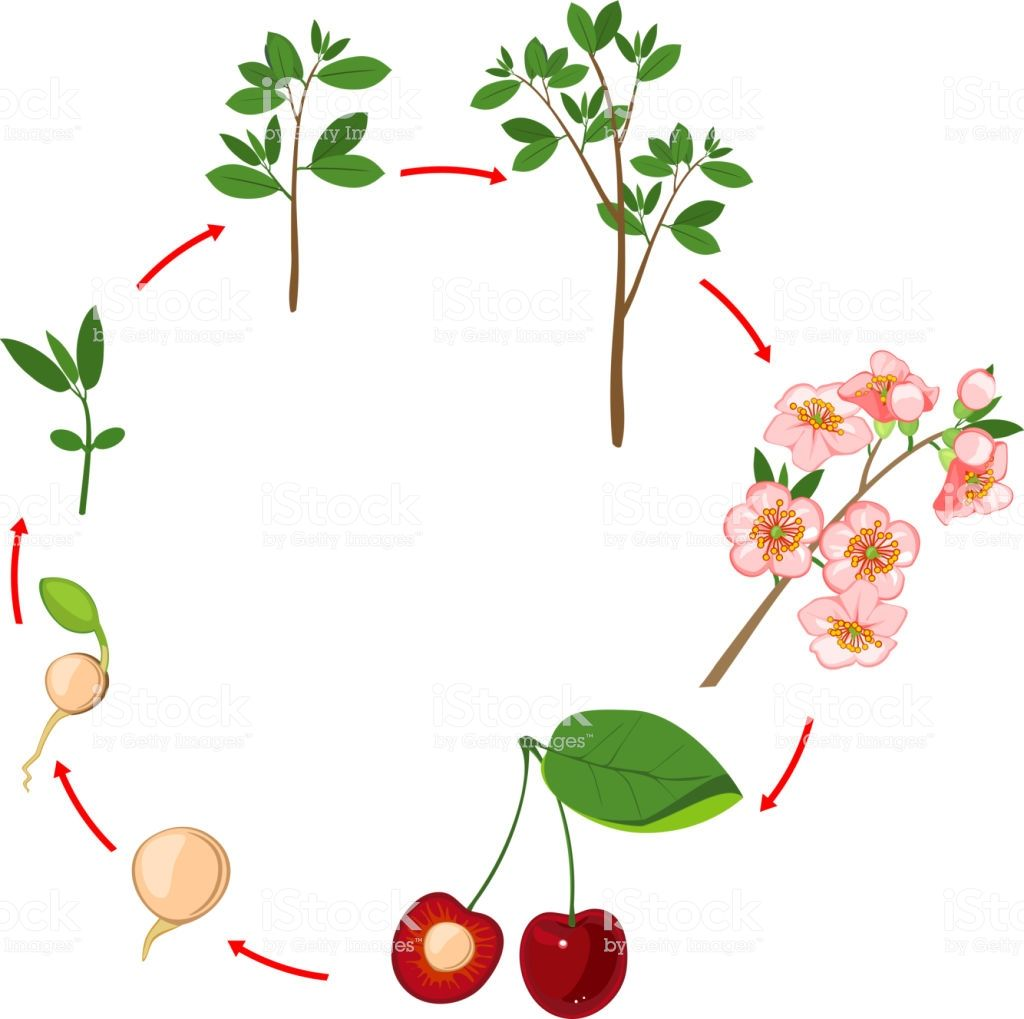 Life Cycle Of Cherry Tree Plant Growth Stage Life Cycles Plant Life Cycle Cherry Tree