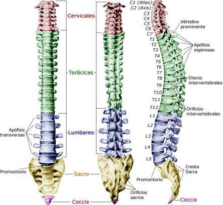 Anatomia Y Movimiento Del Raquis Anatomia Humana Huesos Anatomia Huesos Anatomia