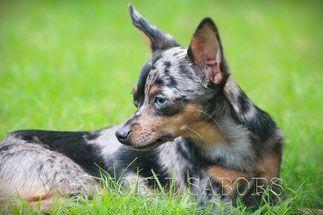 Merle Zucht Prager Rattler Mini Pinscher Hunde