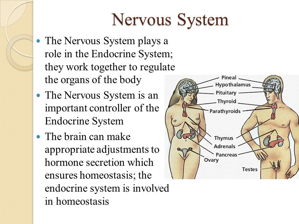 What Does The Endocrine System Do Endocrine System Glands And