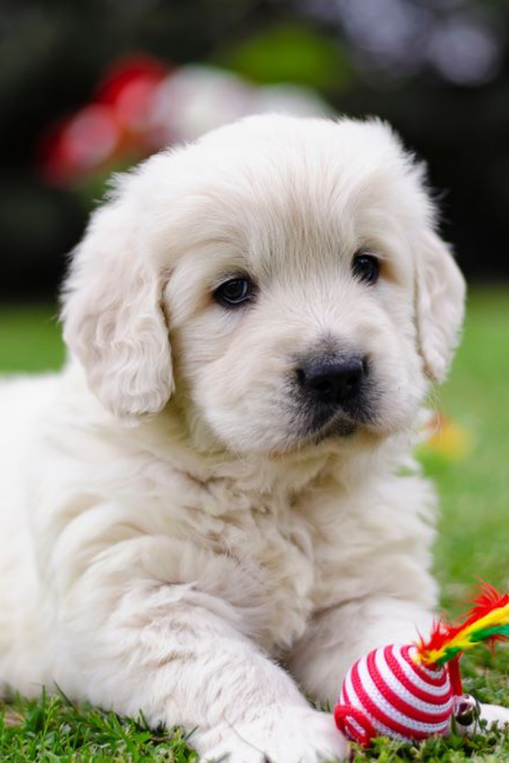 Portrait Of A Golden Retriever Two Months Puppy With A Color Toy On The Grass Goldenretriever Golden Retriever White Golden Retriever Puppy Golden Puppies