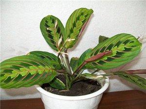 Алфавитный каталог комнатных растений и цветов