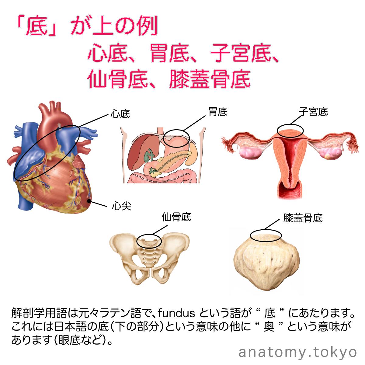 解剖学用語は元々ラテン語で、fu...