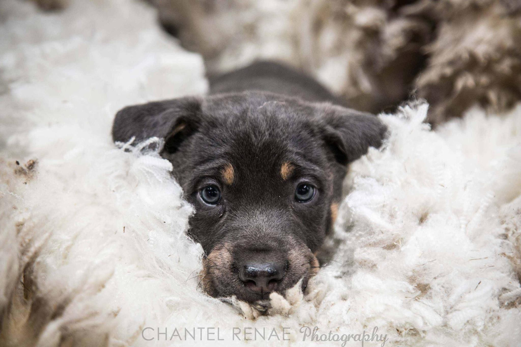 Chantel Renae Photography Wooly Pup Pikedale Stanthorpe