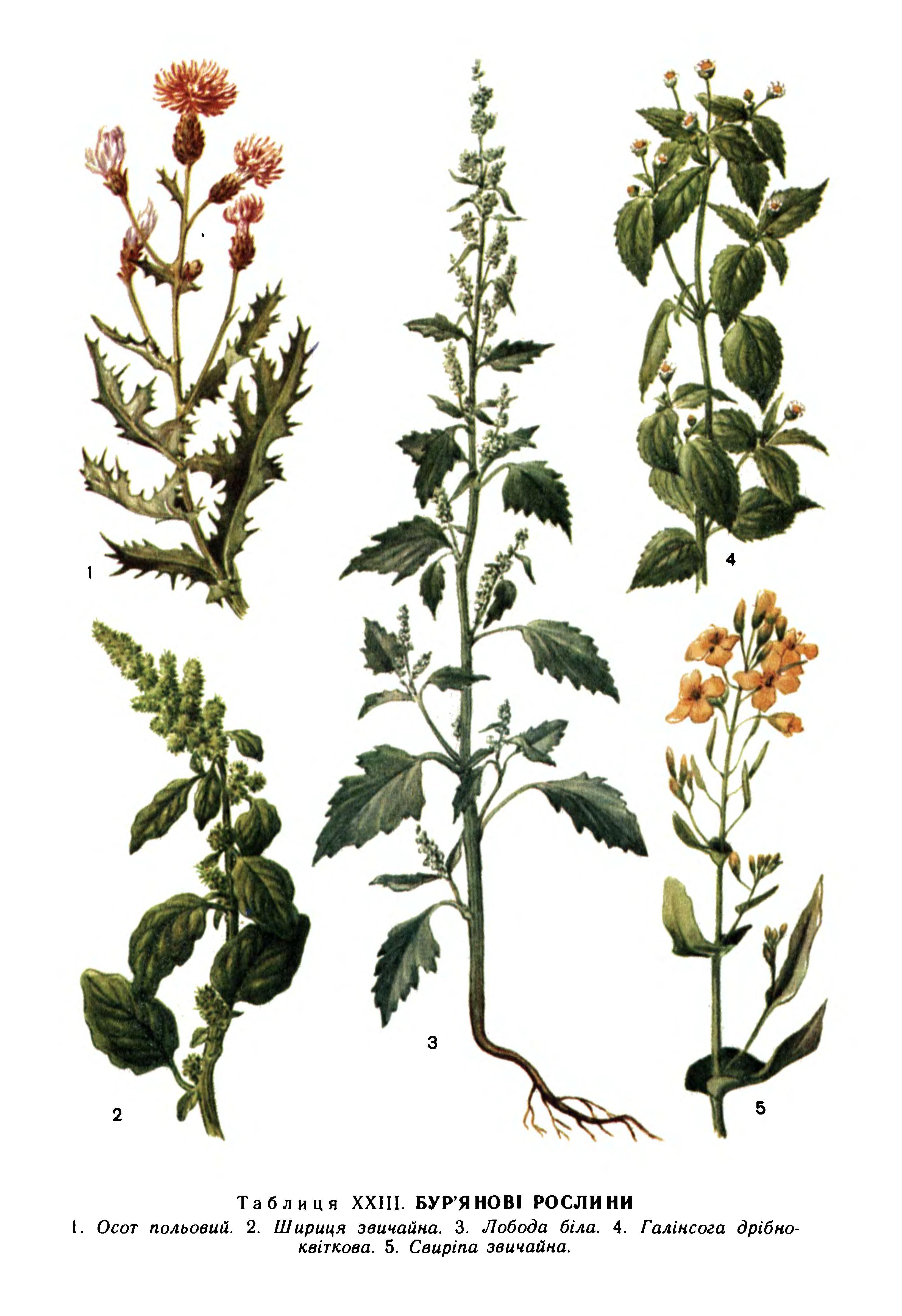 время картинки сорных растений с названиями посадку