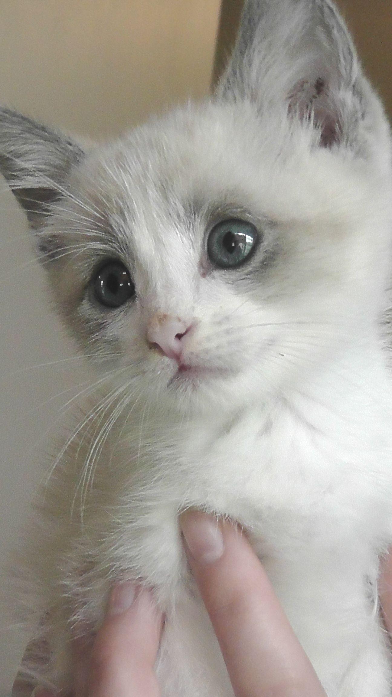 snowshoe siamese mix Malcolm kitten Fuzzy Things