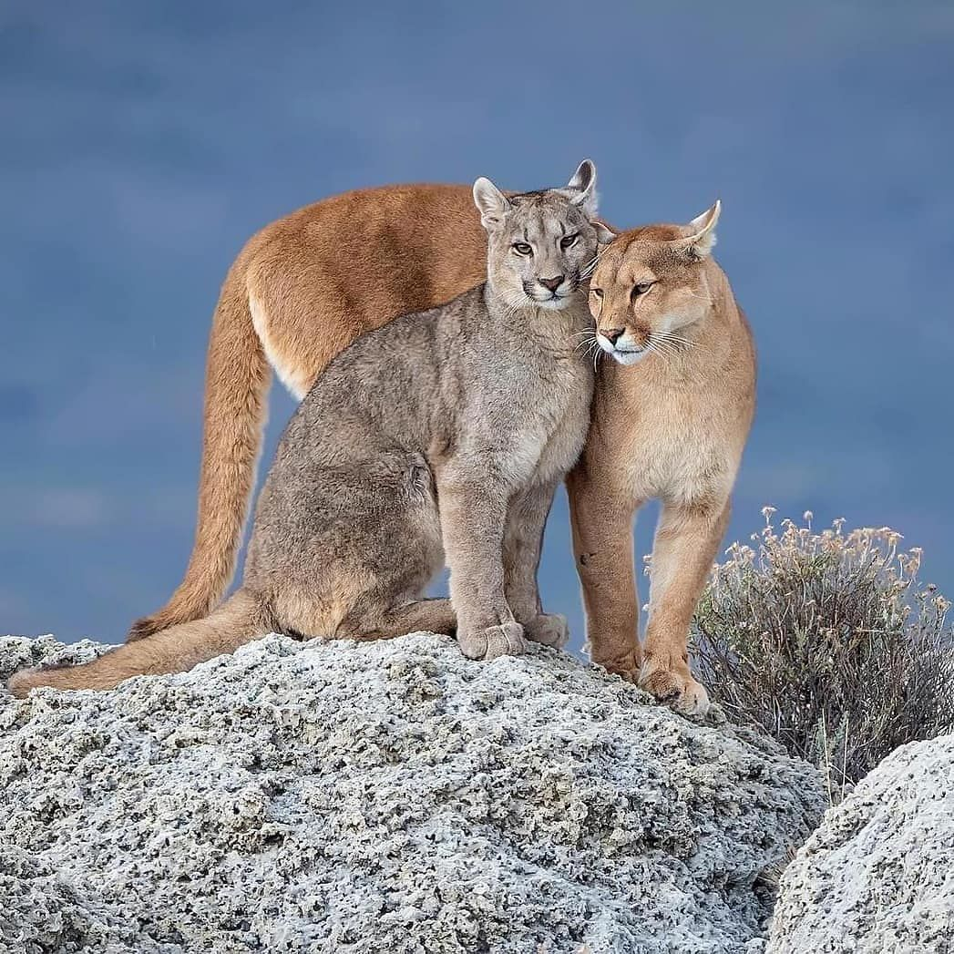completar Belicoso Cabina  A female Patagonian puma with one of her three grown cubs, on the fringes  of Torres del Paine, Chile. Pumas usually… | Animals beautiful, Animals  wild, Cute animals