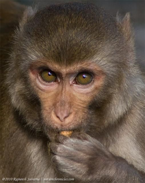 After Researching A Lot Of Species Of Monkey I Have Decided The Look Of The Rhesus Macaque Is What I Want Helps That They Are Indigenous To India Ovni