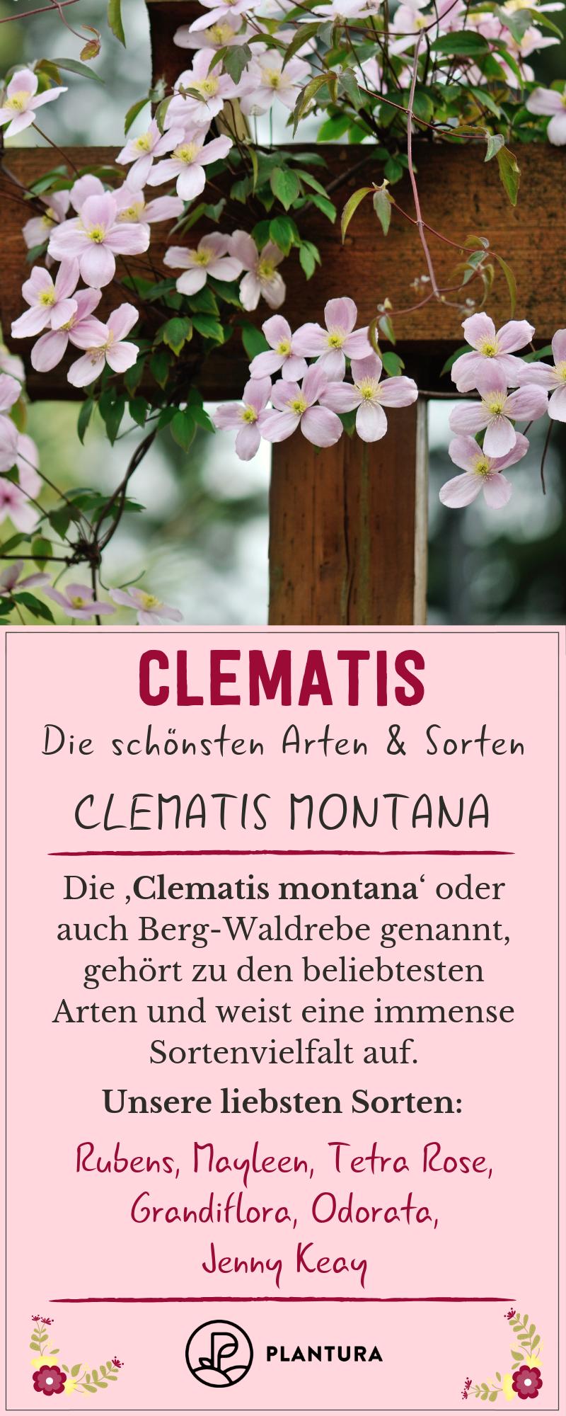 rosa Clematis Stck blühende winterhart schnellwüchsig duftende Hecken Sträucher