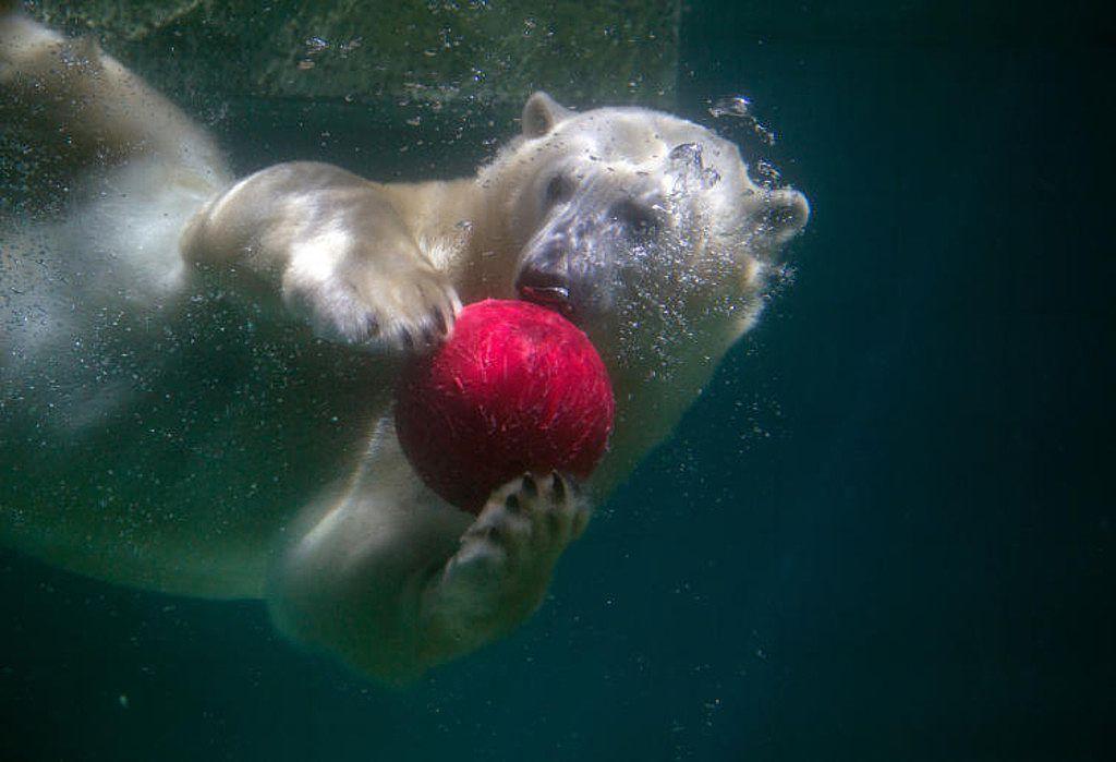 Zeitvertreib: Was machen denn Eisbären so den ganzen Tag, wenn sie im Zoo leben müssen? Zum Beispiel mit dem Ball spielen. Unser Eisbär hier lebt im Wuppertaler Zoo und vergnügt sich an heißen Sommertagen mit einem roten Ball - am liebsten unter Wasser! (Bild: dpa)