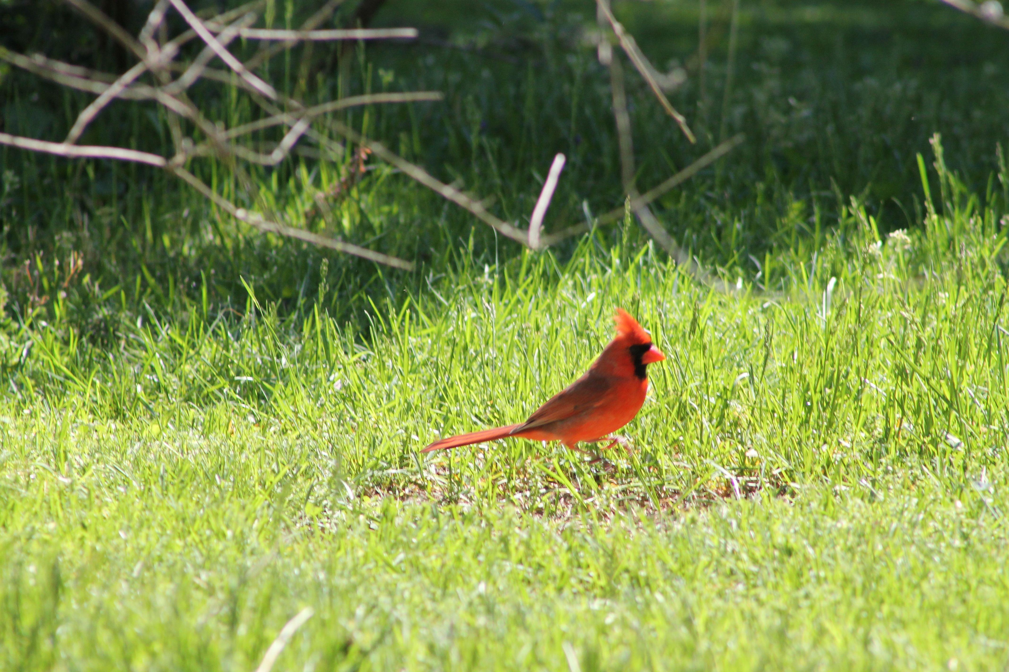 Beautiful Male Cardinal :-) Tammy Taylor-Kosiba Photography 2013