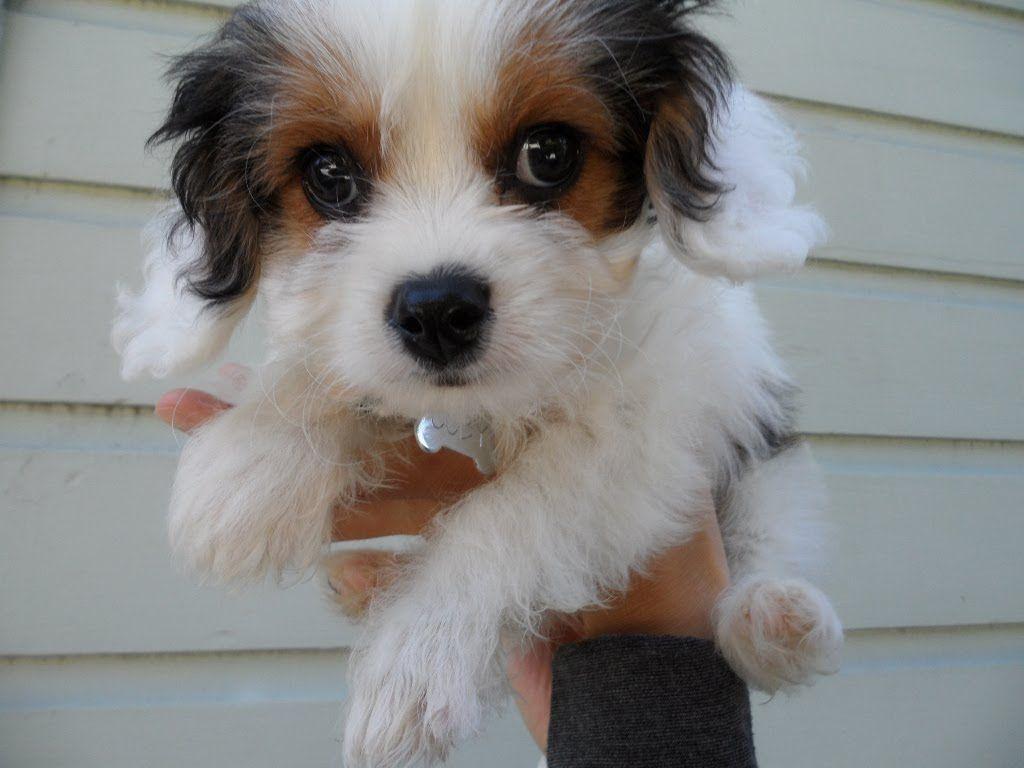 Tri Color Cavachon Cavachon Animals And Pets Pup
