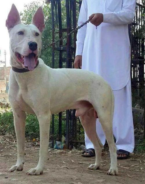 Pakistani Gull Terrier Middle Eastern Dog Gull Terrier Dog
