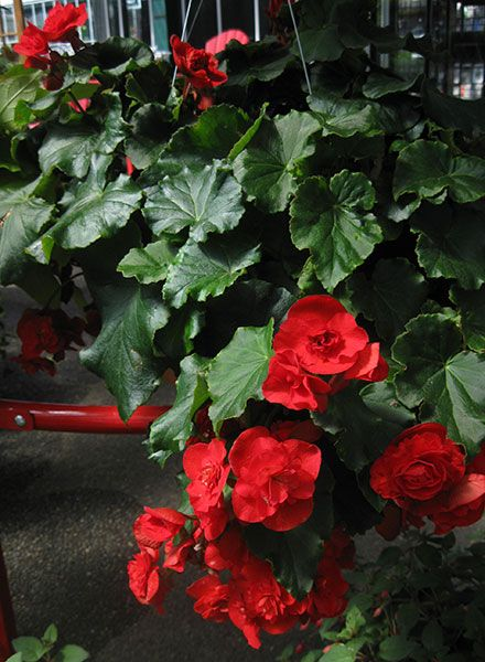 Pick Up A Hanging Basket At Swansons Filled With Shade Loving Begonias Or Pot Up Your Own To Add Color Overhead Hanging Baskets Begonia Plants