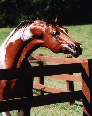 Arabian Stallion Color of Fame
