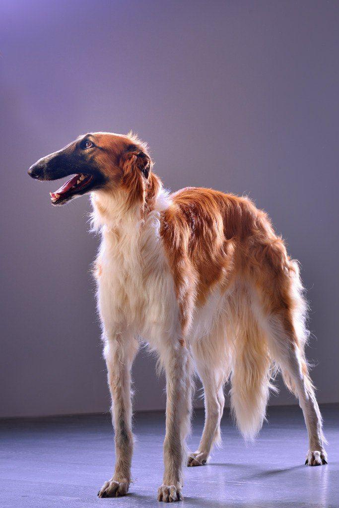 A Borzoi Dog A portrait of b...