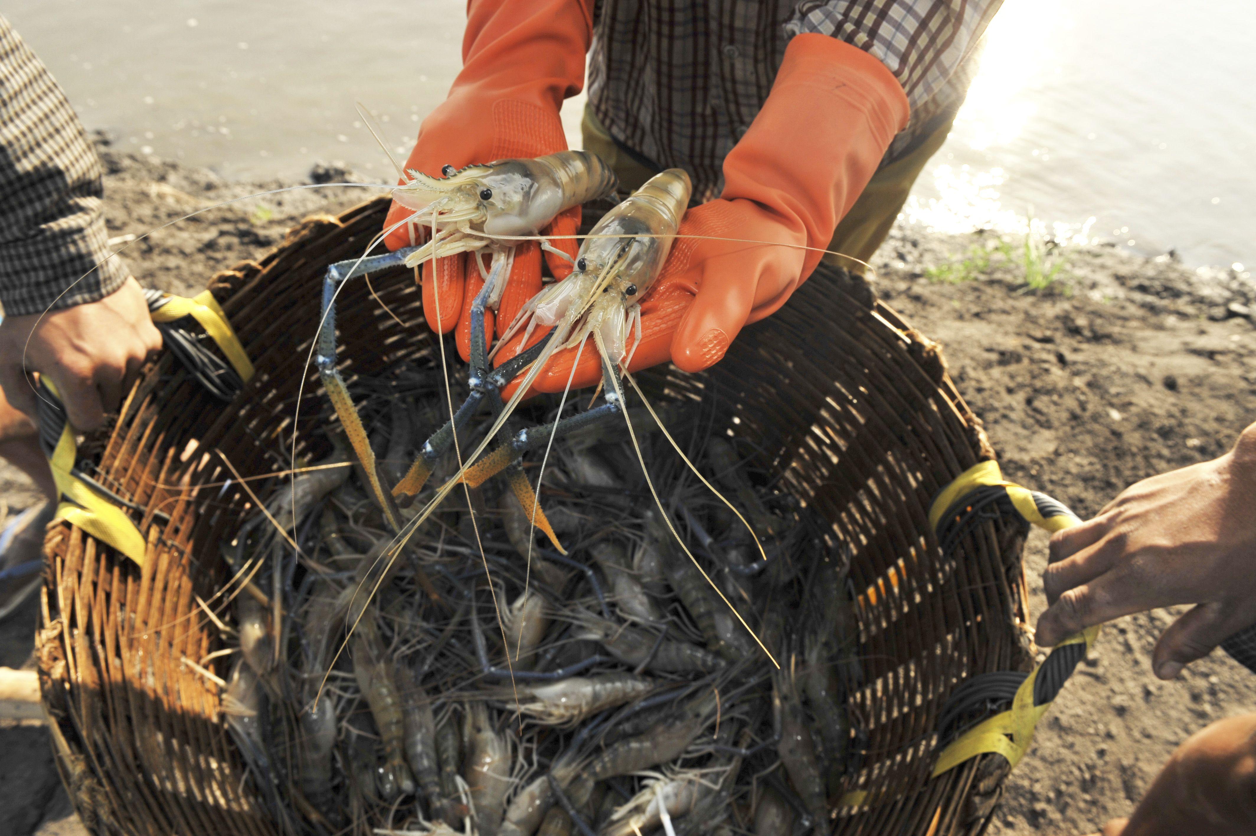 liveaquaponics com freshwater prawn macrobrachium rosenbergii