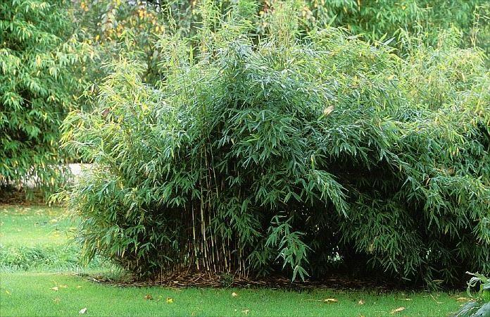 Kann ich Bambus im Kübel halten Schirmbambus, Bambus