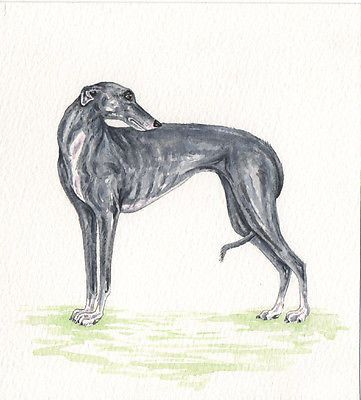 Whippet Greyhound  dog  Watercolour//ink Painting  by Bridgette Lee