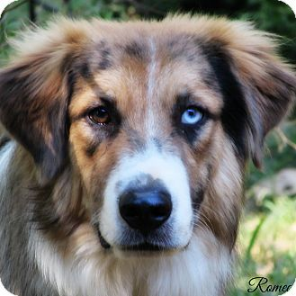 Statewide Tx Great Pyrenees Meet Romeo A Pet For Adoption