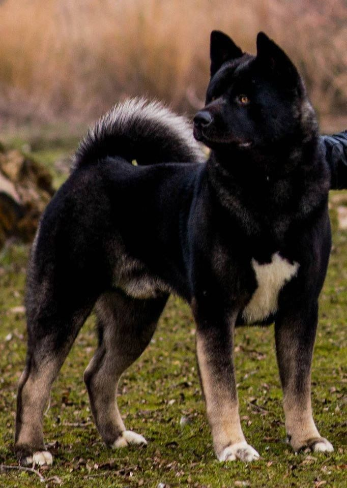 Stunning American Akita Akita Dog Dog Breeds
