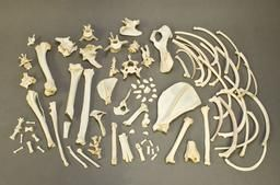 $59 These limited quantity bags of bones include approximately 60 to 80 various bones. Each bag will include leg bones, vertebrae, ribs, toe bones, scapula, and pelvis. Each bag will vary in quantity and types of bones. Please call with any questions.