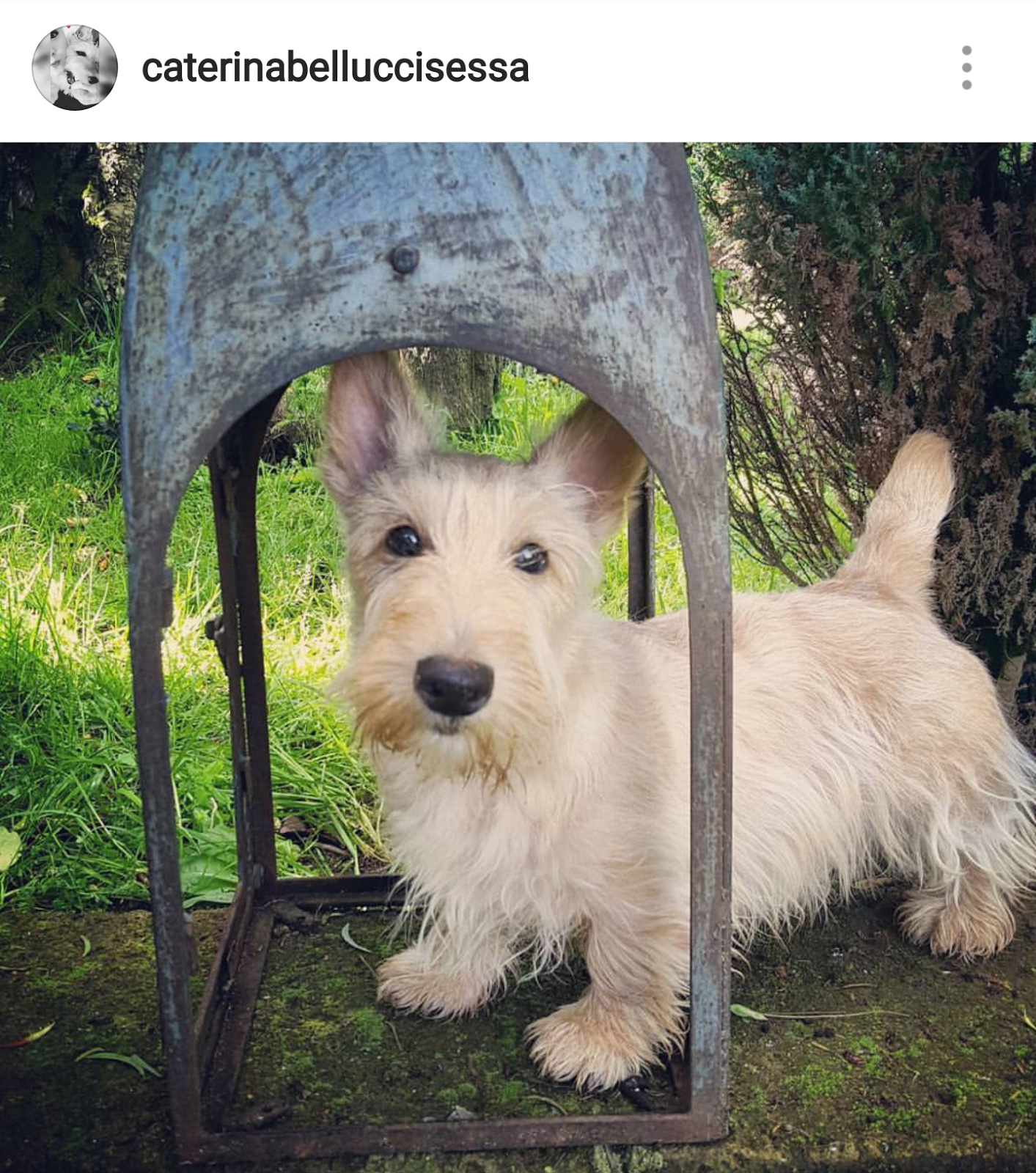 Scottish Terriers Of Instagram With Images Scottie Puppies Scottish Terrier Puppy Scottish Terrier