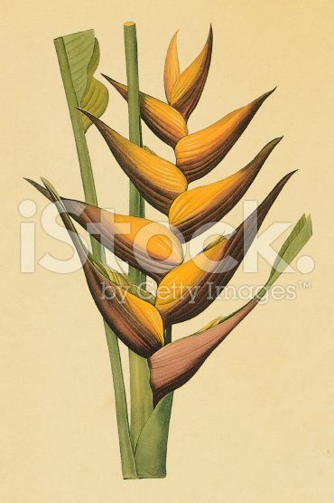 Lobster claw | Antique Flower Illustrations royalty-free stock illustration