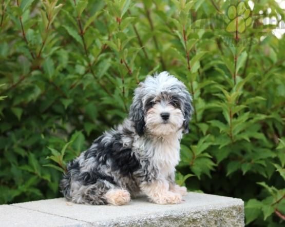Pin by MK Fendrick on So Cute! in 2020 Aussiedoodle