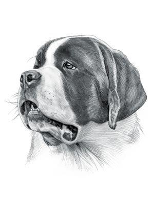st bernard dog drawing dogs dog art bernard dog